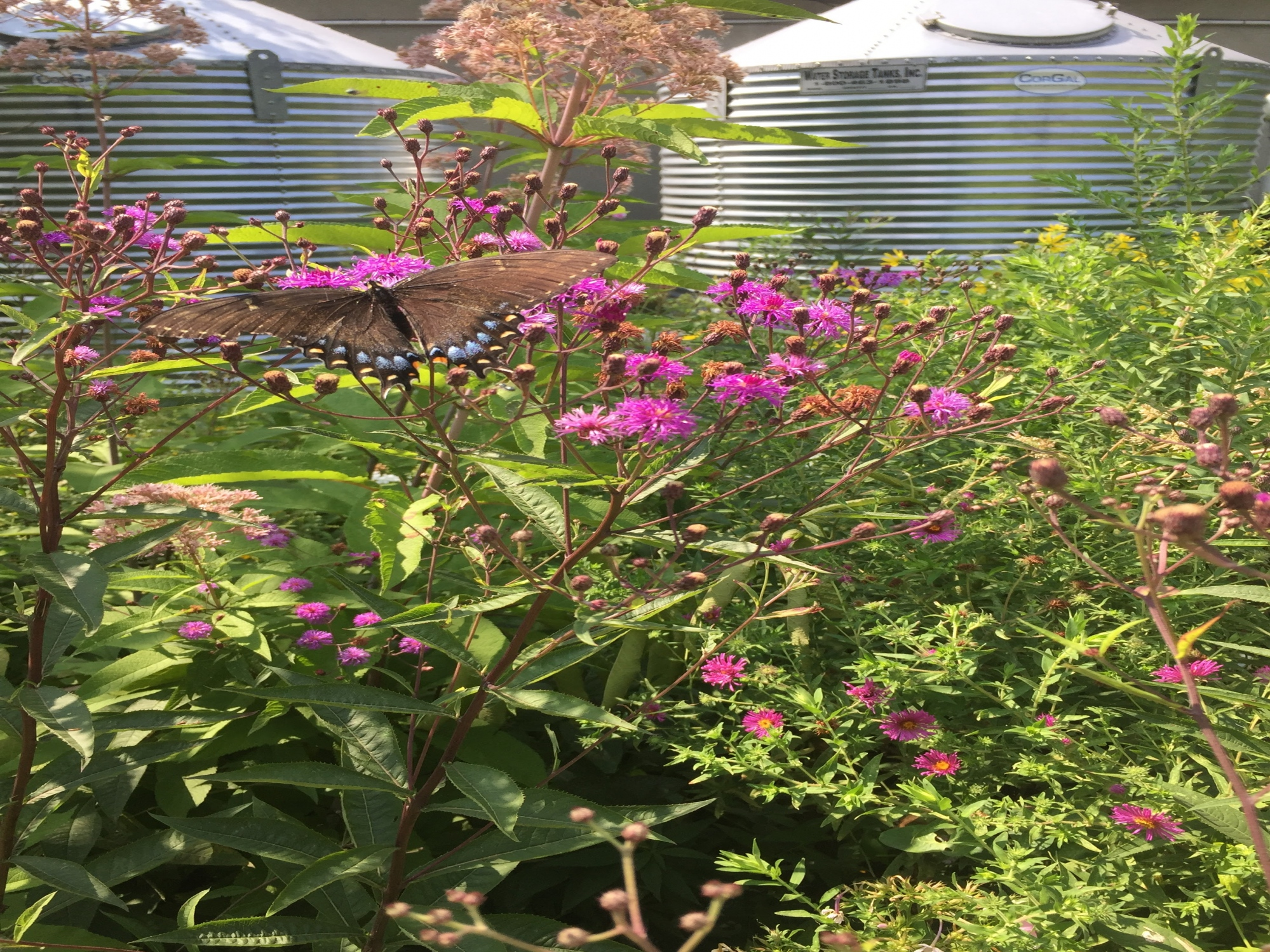 Eastern Tiger Swallowtail Butterfly on New York Ironweed